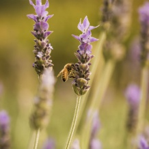 Looking after the bees with 4kms of Lavender hedging across all of Riversun's sites