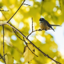 A fantail taking a rest in the source block in Autumn