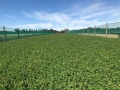 Red Clover Green Crop