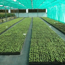 Bruno seedlings in polyhouse